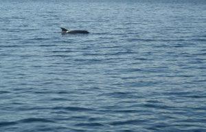 Delphine als Begleiter